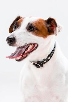 Kleine jack russell terrier-zitting