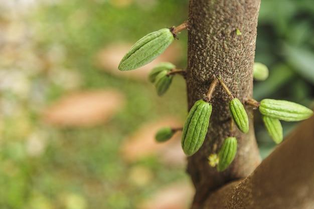 Kleine jonge cacaopeul op cacaoboom