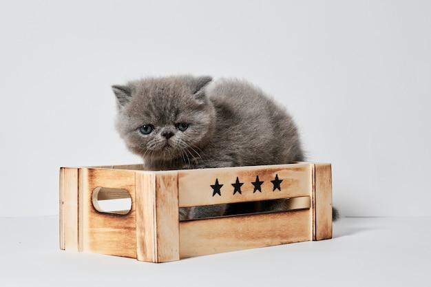 Kleine jonge grijze exotische kat in een doos