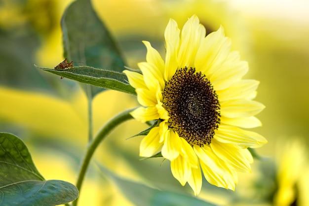 Kleine kever op blad van bloeiende gele zonnebloem