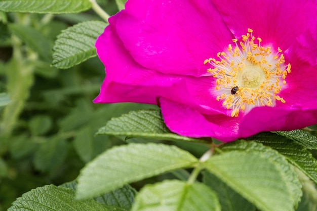 Kleine kever zit in het midden van een wilde roze bloem tussen gele meeldraden