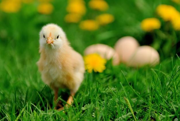 Kleine kip en ei op het gras