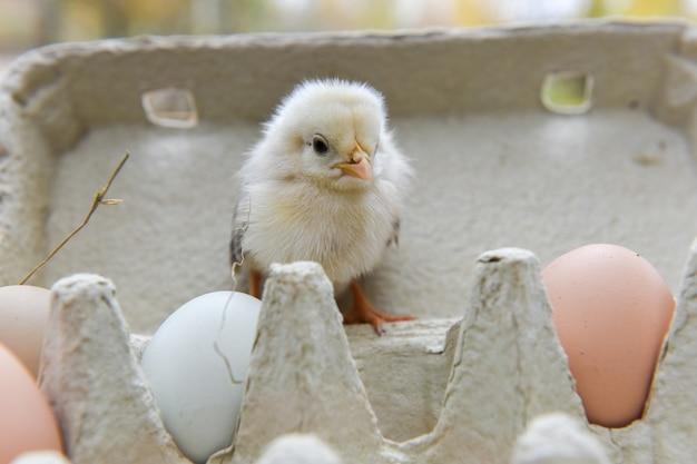 Kleine kip in eierdoos met eieren