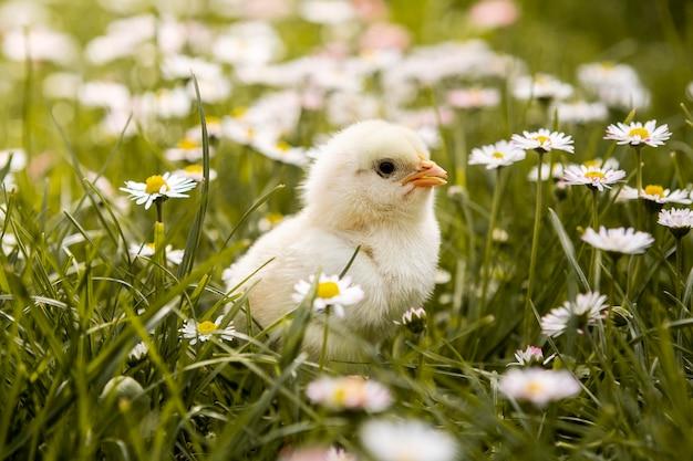 Kleine kip in het gras