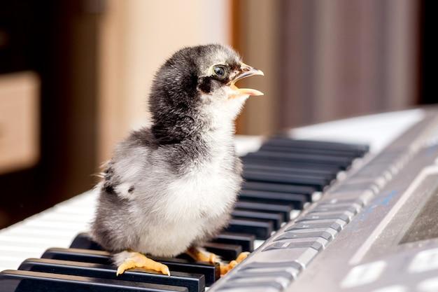 Kleine kip met een open snavel op de pianotoetsen