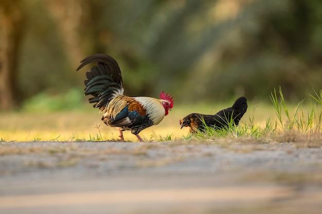 Kleine kip, miniatuur gevogelte huisdier. aziatische populaire huisdieren op het platteland. live wekker