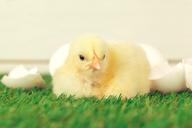 Kleine kip op het gras