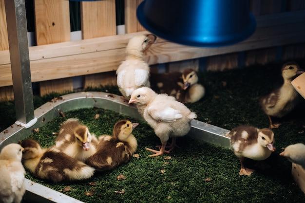 Kleine kippen en eendjes zonnebaden op het gras onder een lamp in de tuin