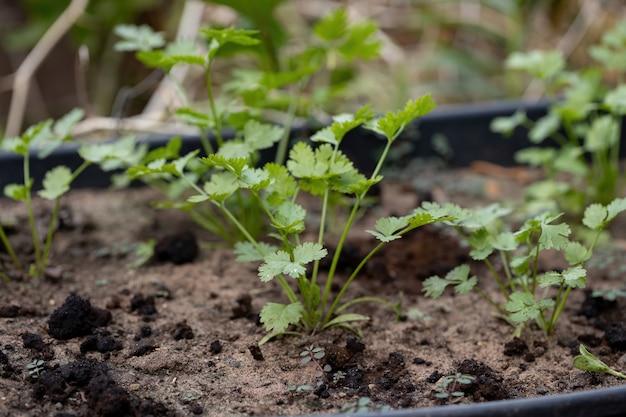 Kleine korianderplant van de soort coriandrum sativum met selectieve focus