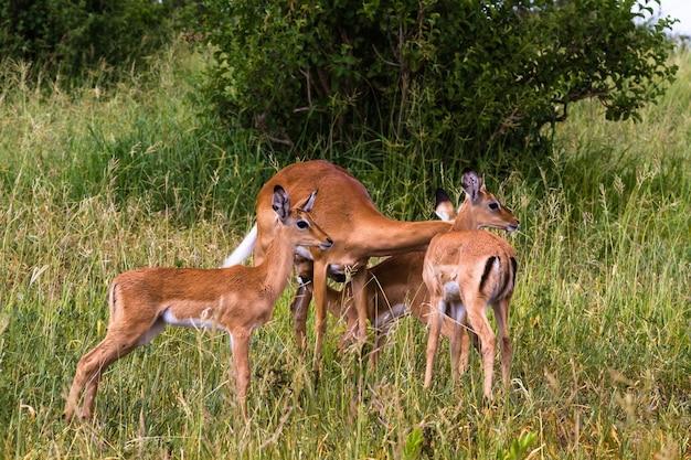 Kleine kudde impala's. tarangire, tanzania