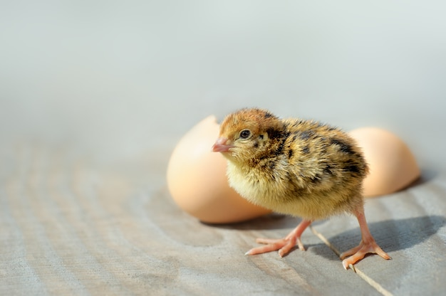 Kleine kuikens en eierschalen. zachte focus