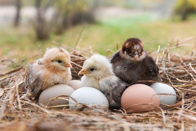 Kleine kuikens in het hooi met eieren