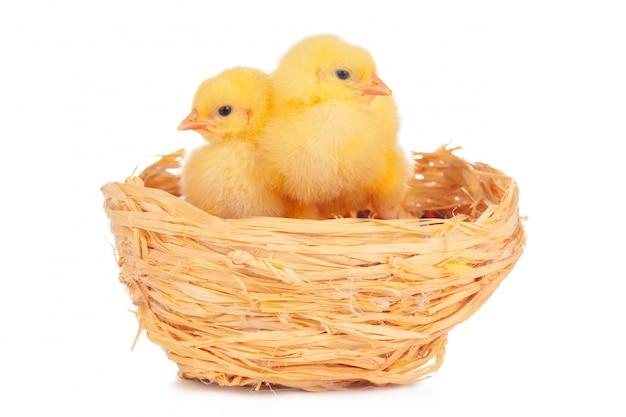 Kleine kuikens in nest