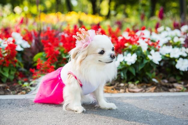 Kleine langharige chihuahua-hond geniet van wandelen