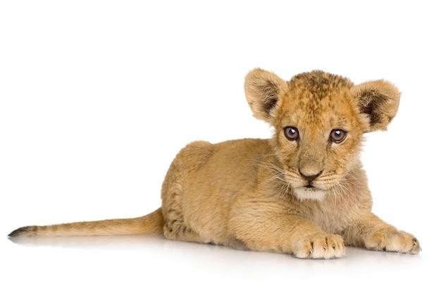 Kleine leeuw op wit.