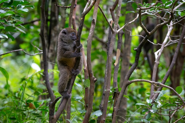 Kleine maki in het regenwoud op het eiland madagaskar