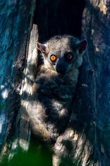 Kleine maki verborg zich in de holte van een boom en kijkt toe