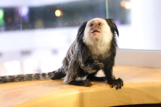 Kleine marmosetapen met zwarte kuif zitten op een houten oppervlak. baby aapje
