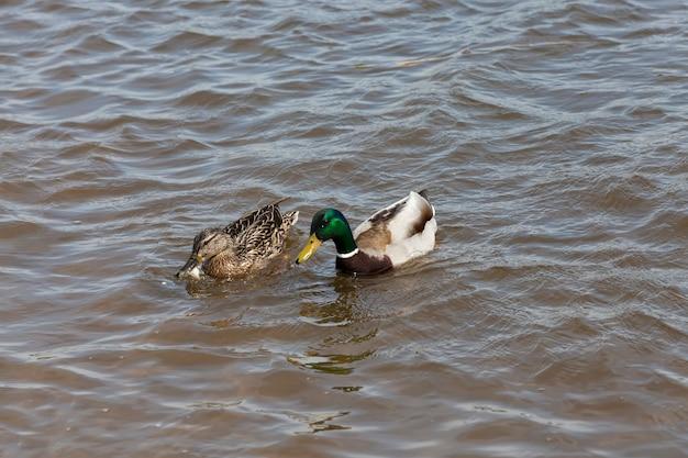 Kleine mooie wilde eenden, watervogels eenden in de lente of zomer, watervogels wilde vogels eenden in het wild Premium Foto