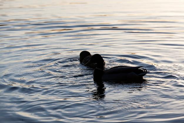 Kleine mooie wilde eenden, watervogels eenden in de lente of zomer, watervogels wilde vogels eenden in het wild