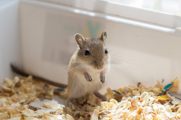 Kleine muis, gerbil cub zit in een doos met zaagsel