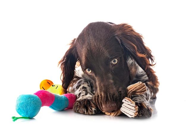 Kleine munsterlander-hond geïsoleerd