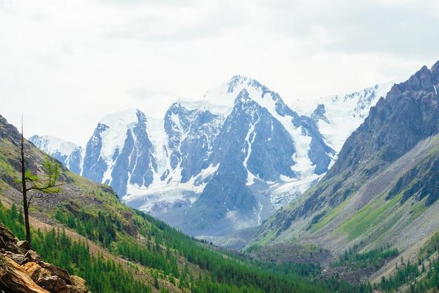 Kleine naaldboom op stenen op achtergrond van prachtige gletsjer. lariks op steenachtige heuvel.