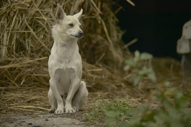 Kleine nauwgezette hond zittend in een stal in het midden van stro in een landelijke omgeving.