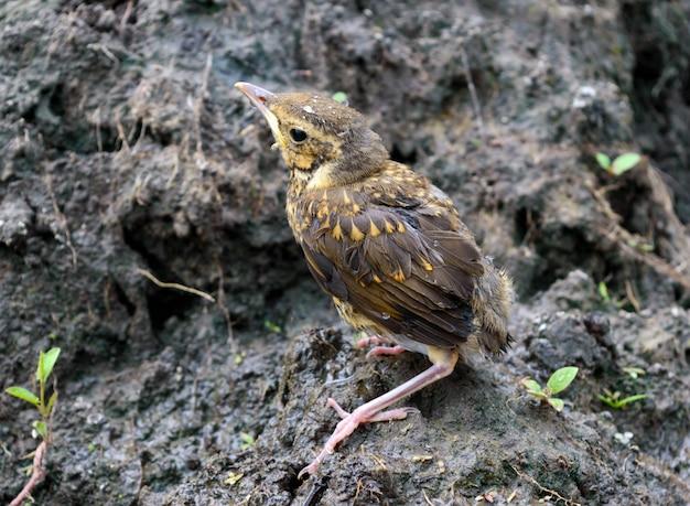 Kleine nestvogel slikt rivier in (swift)