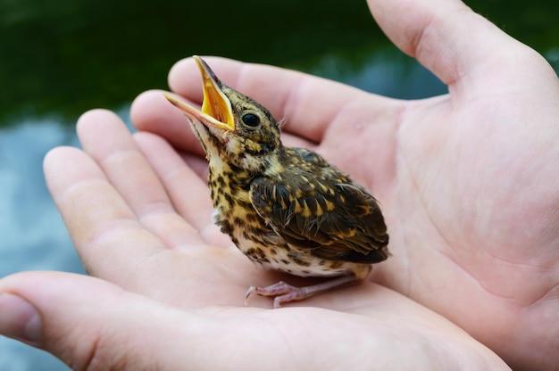 Kleine nestvogel slikt rivier (swift), een man houdt in zijn handen.