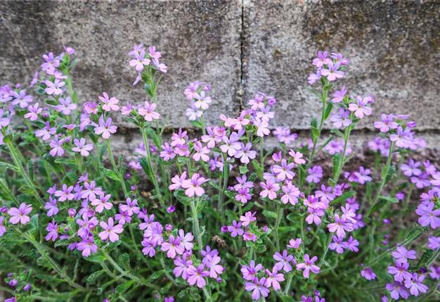 Kleine paarse bloemen groeien in de buurt van de muur van het huis. concrete achtergrond
