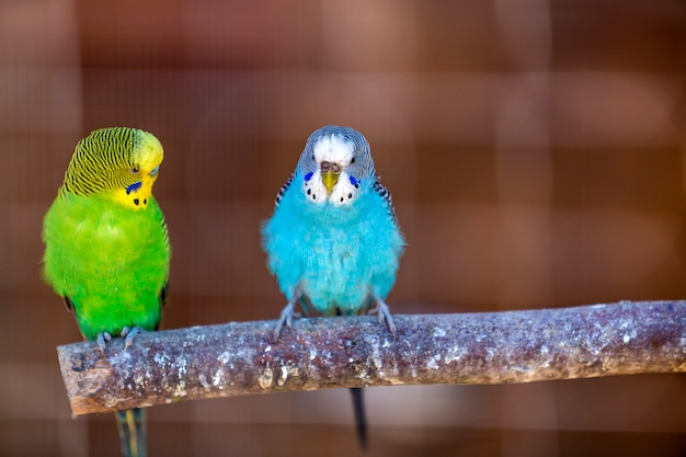 Kleine papegaaienvogels, helder blauw en groen, zittend op boomtak op vage exemplaarruimte. het houden van huisdieren thuis concept.