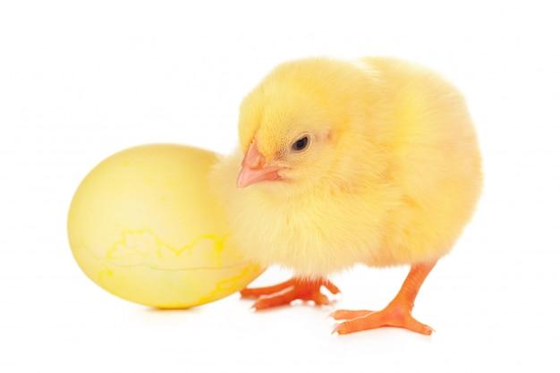 Kleine pasgeboren kippen geïsoleerd op een witte achtergrond