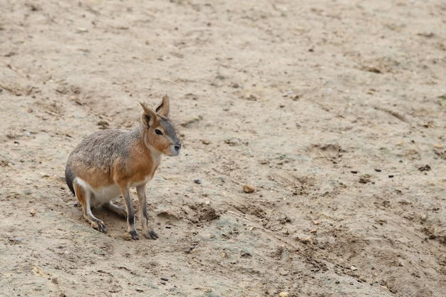 Kleine patagonische mara op zand