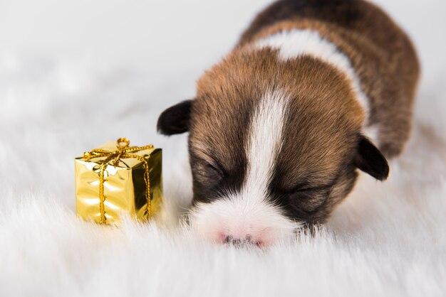 Kleine pembroke welsh corgi puppyhond met cadeau