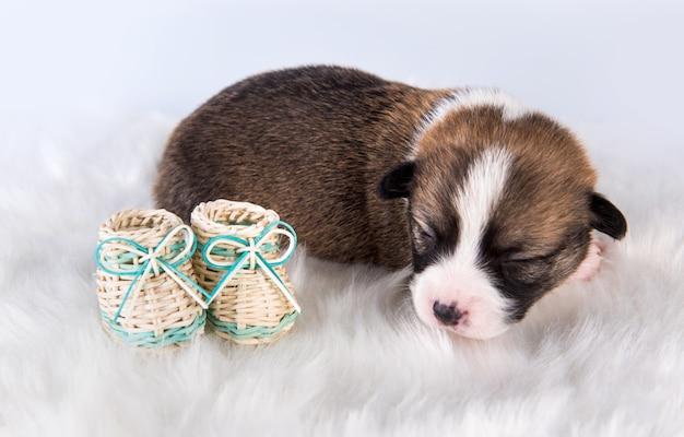 Kleine pembroke welsh corgi-puppyhond met schoenen