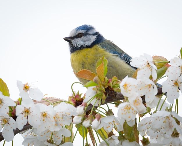Kleine pimpelmees in het voorjaar zat op een tak met witte bloesem