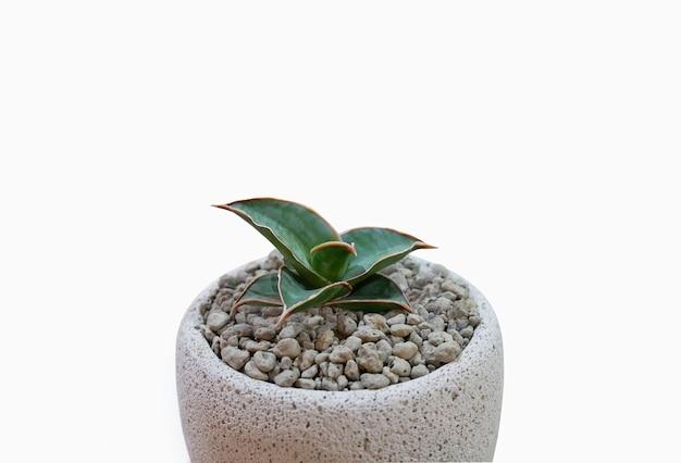 Kleine plant in pot vetplanten of cactus op wit.