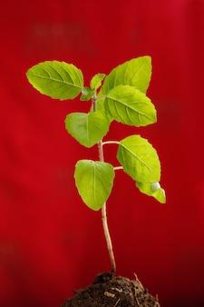 Kleine plant op rode achtergrond