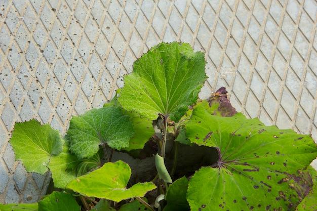 Kleine planten ontkiemden en groeiden op uit de achtergrond van de gebarsten betonnen muur. plant moeder en stiefmoeder