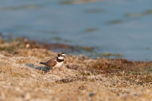 Kleine plevier voedt zich op de oever van het meer. charadrius dubius.