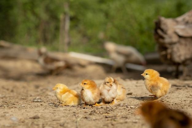 Kleine pluizige kippen die in een tuin lopen
