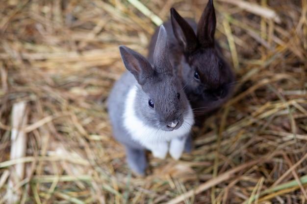Kleine pluizige konijnen in de pen eten voedsel uit een kopje. er ligt een strooisel hooi in het hok. konijnen zijn als een huisdier. huishoudelijk beheer