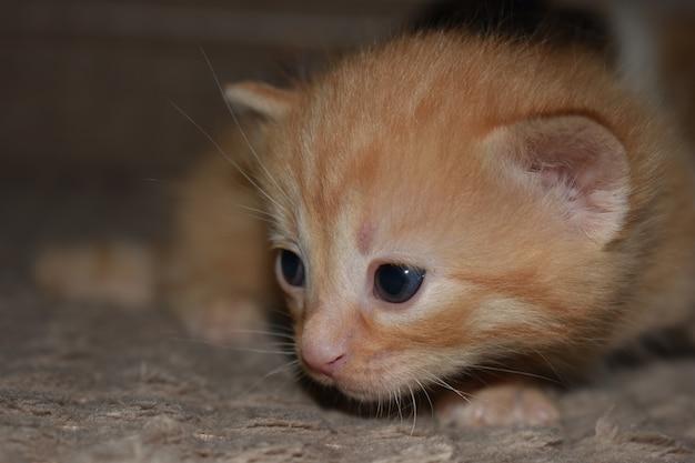 Kleine pluizige rode kitten speelt op de bank
