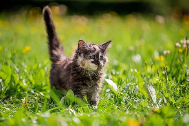 Kleine pluizige speelse grijze gevlekte maine coon kitten loopt op groen gras.