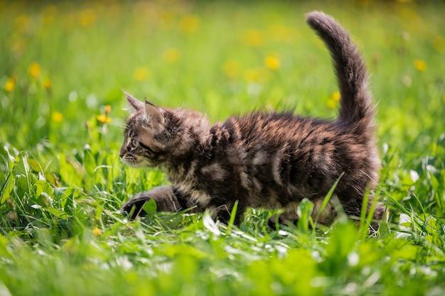 Kleine pluizige speelse grijze tabby maine coon kitten loopt op groen gras.