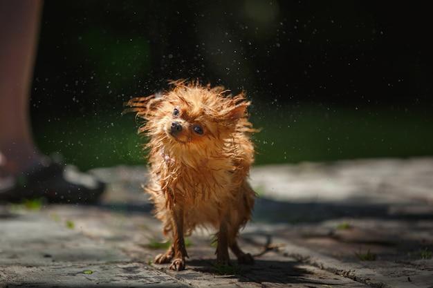 Kleine pommeren hond schudt af na het zwemmen in een vijver in de open lucht.