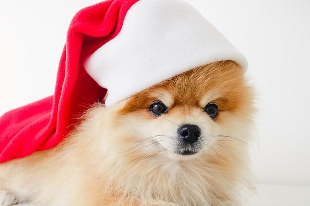 Kleine pommeren puppy hondje in rode kerstman hoed met kerstmis