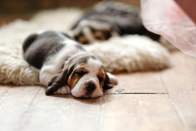 Kleine pup liggend op houten vloer