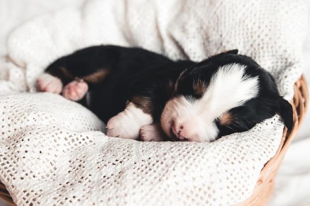Kleine pup van berner sennenhond in bed. schattige dieren